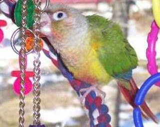 Green Cheek Conure Breathing Trouble – Parrot Respiratory