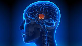 La fuente de la juventud podría residir en lo más profundo de nuestro cerebro