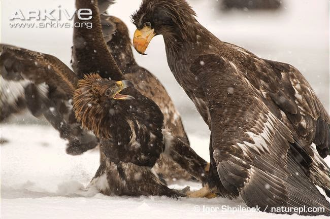 interactions between raptors golden eagle