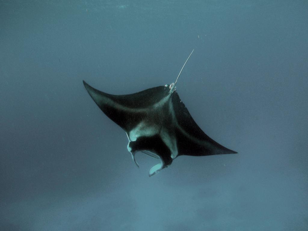 aquatichyk manta ray manta birostris. Black Bedroom Furniture Sets. Home Design Ideas