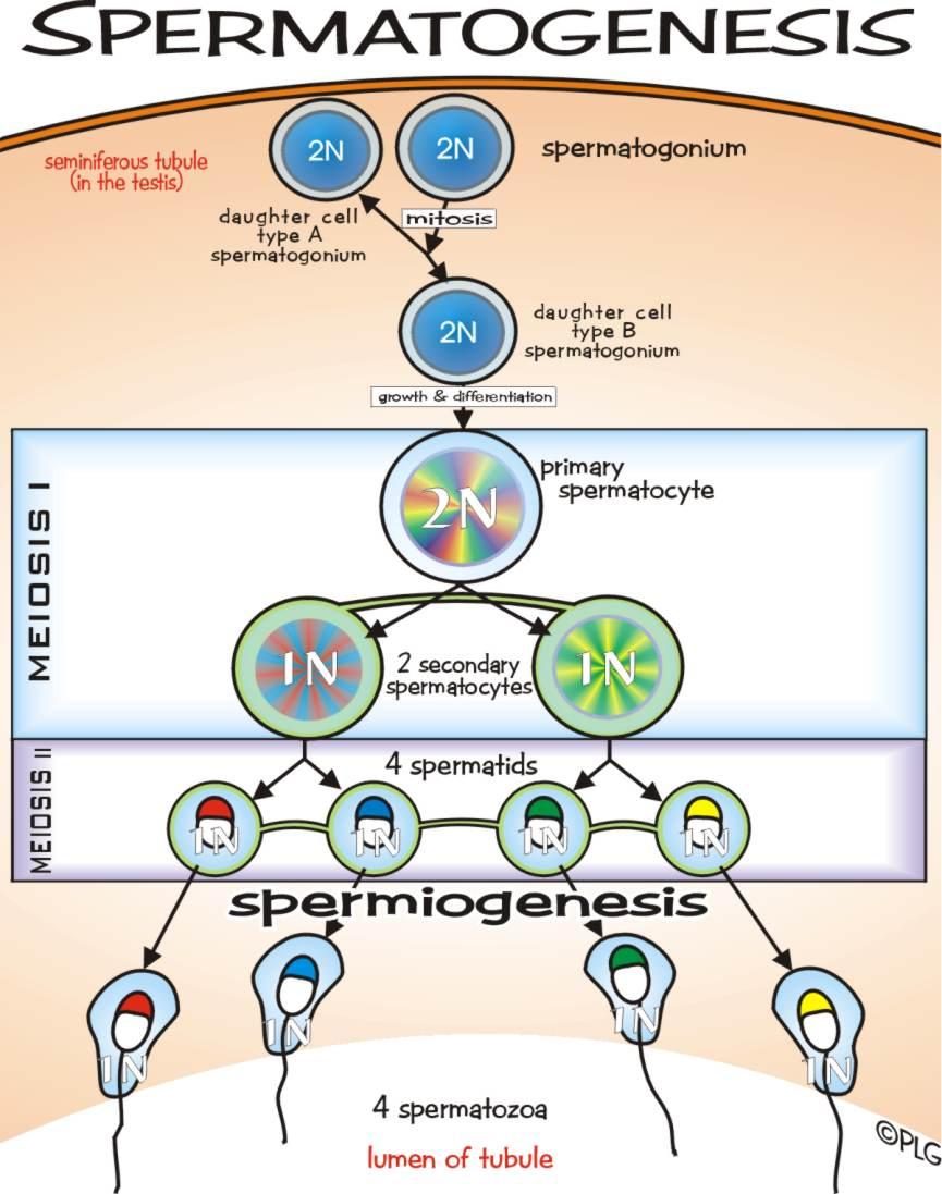 Proses Pembentukan Sel Telur (oogenesis) : proses, pembentukan, telur, (oogenesis), SANJAYA:, SPERMATOGENESIS, OOGENESIS