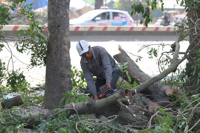 Theo quan sát, việc chặt hạ cây xanh đang diễn ra khẩn trương.
