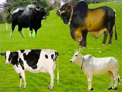 History of the celebration of cattle in the Indian subcontinent and in the world and pets animals also.
