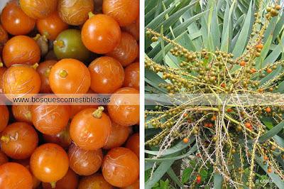 Sus frutos son comestibles y oleaginosos