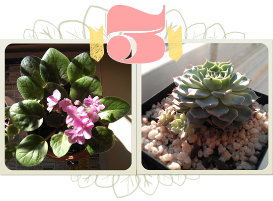 Succulents - African Violet and Dessert Rose