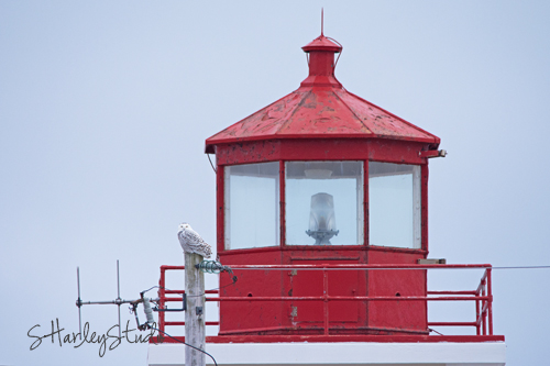 Female Snowy Owl visits the lighthouse