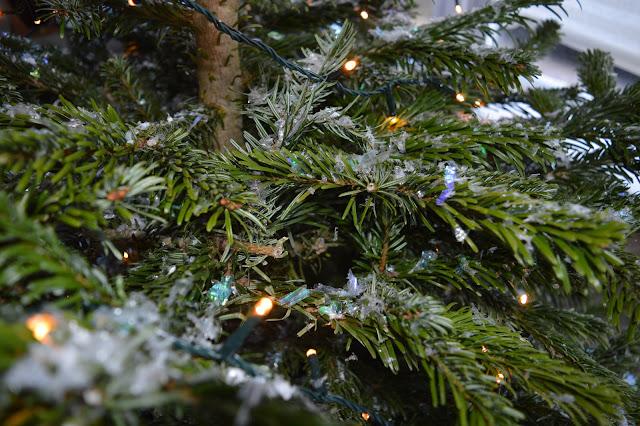 branches of Nordmann Fir tree