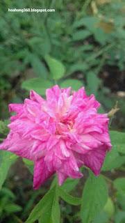 ảnh hoa hồng quế