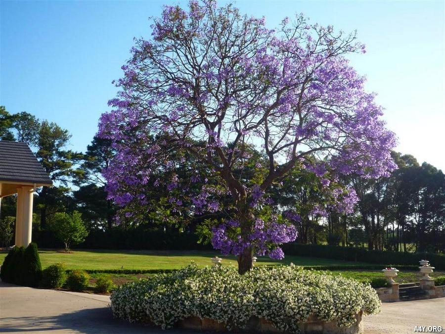 ảnh cây phượng tím đẹp
