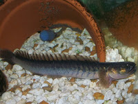 Violet Goby Fish Pictures