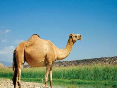 Pet Animals Name Camel