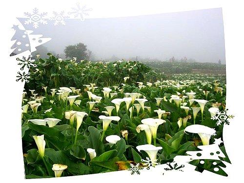 台北陽明山花季|竹子湖賞海芋|每年3-4月間