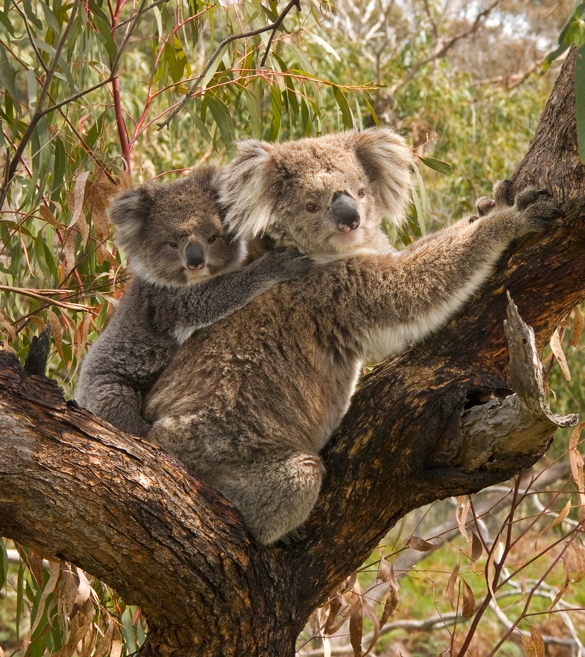 Mammals Animals: Koala and joey