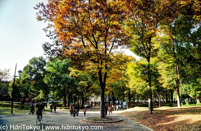 trees at Ueno park on Nov, 13, 2016. people walk under autumn leaves.