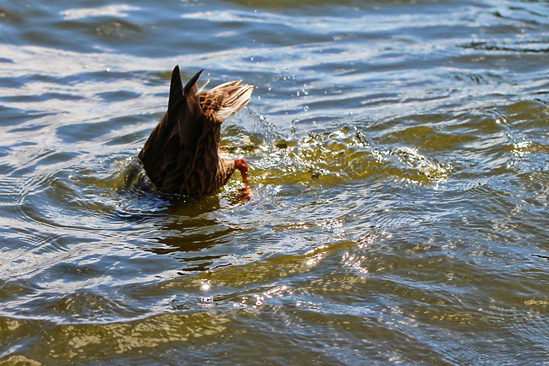 Ente taucht nach der Begrüßung auf dem Möllensee ab | Arthurs Tochter kocht. von Astrid Paul. Der Blog für food, wine, travel & love