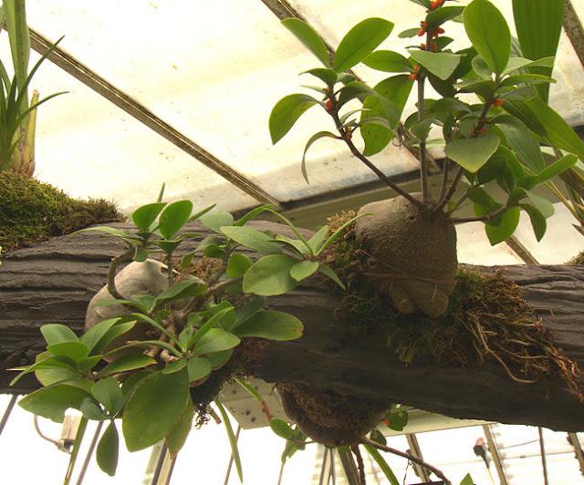 Kiến kỳ nam - Hydnophytum formicarum - Nguyên liệu làm thuốc Chữa Đi Lỏng-Đau Bụng