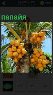 Высокое дерево на котором гроздями растет экзотический фрукт под названием папайя желтого цвета