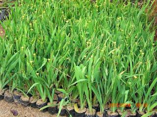 http://tukangtamankaryaalam.blogspot.com/2015/10/pohon-airis-pohon-irish-http://tukangtamankaryaalam.blogspot.com/2015/10/pohon-airis-pohon-iris-bunga-kuning.htmlbunga-kuning.html