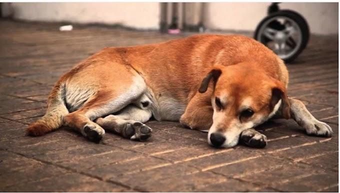 México es primer lugar en AL con perros en situación de calle