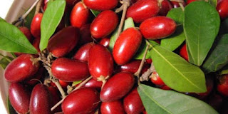 bibit miracle fruit,manfaat miracle fruit,jual bibit miracle fruit siap tanam,bibit miracle fruit unggul