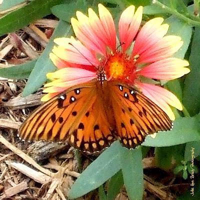 Gulf Fritillary Butterfly -- Jacksonville, Florida