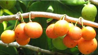 gambar buah imbe