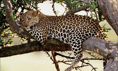 "This 14 day Uganda Rwanda safari, starting with game viewing on the savannah plains of Queen Elizabeth National Park - elephant, lion, buffalo, hippo, and leopard, chimps in Kyambura Gorge, track  mountain gorillas in Uganda/Rwanda, visit the Akagera National Park, Lake Bunyonyi, visit the endangered golden monkey."" /><meta name=""Keywords"" content=""Rwanda -uganda safari, gorilla safaris, uganda tours, gorilla trekking safaris, uganda hotels, safari lodges, primate watching, car hire services, chimpanzee trekking,, gorilla permits rwanda uganda, gorilla tracking uganda rwanda, uganda rwanda tours, uganda rwanda car hire, uganda rwanda safaris, uganda rwanda tour guides, rwanda tour agent, Kigali tours, Ruhengeri accommodation, lake Kivu tours, Akagera national park, volcanoes national park, Nyungwe national park, kigali car hire, airport kigali, rwanda tour operator, rwanda gorillas, rwanda chimpanzee tour, primates rwanda, cultural safari uganda rwanda, group tour uganda rwanda, private tour uganda rwanda, luxury accommodation uganda rwanda"" />"