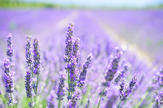 lavender essential oil traditionally used as a perfume for man and woman