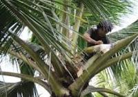 Cara Nderes Kelapa (Pengambilan Air Nira (sajeng/legen) Dan VIDEO TUTORIAL