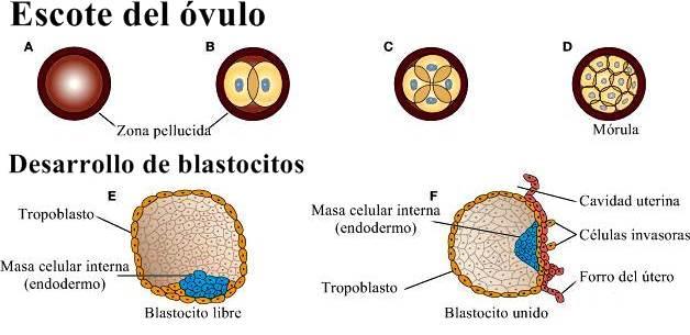 Desarrollo y crecimiento de blastocitos