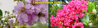benefit Lagerstroemia for Hepatitis c