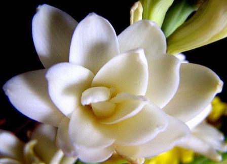 6 Khasiat Bunga Arum Dalu Untuk Kesehatan
