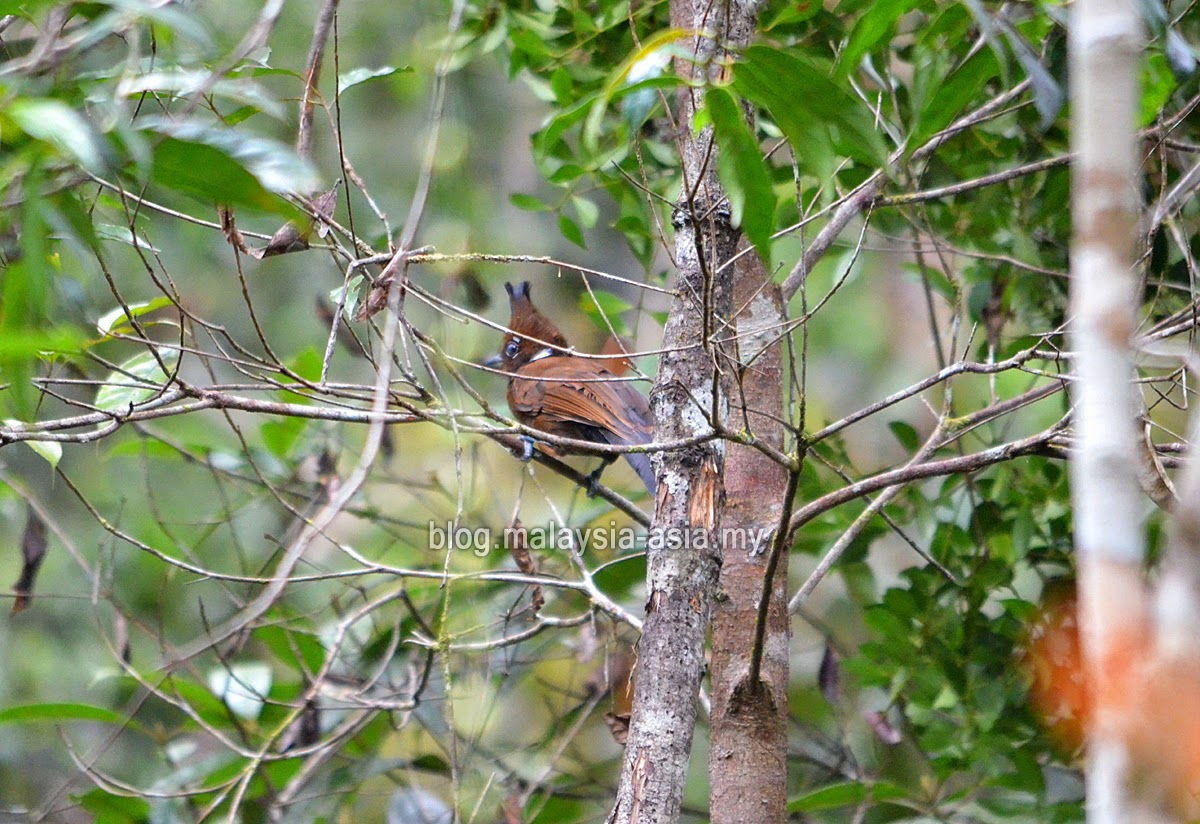 Chestnut Hooded Laughingthrush in Bario