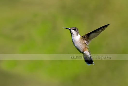 naturespixel photography: Hummingbirds