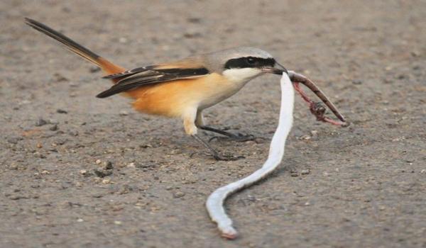 burung cendet nagen