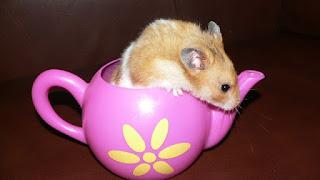 hamster hewan peliharaan lucu untuk anak kos t
