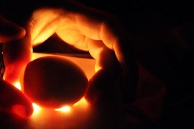 Куриной яйцо с зародышем 14 дней
