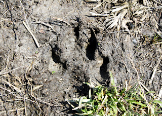 And, a couple of dog prints along a nearby pond.