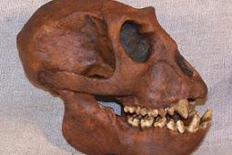 Kehidupan dan Ciri-Ciri Manusia Purba Meganthropus Paleojavanicus
