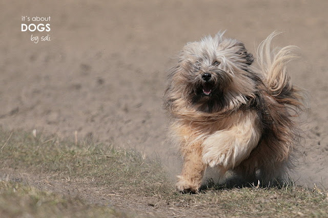 Tibet Terrier Chiru fliegt förmlich über den Acker