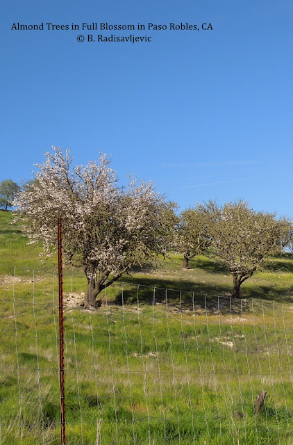 It's the Season for Almond Trees to Bloom