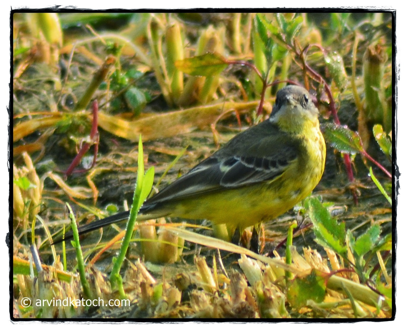 Grey-headed Wagtail