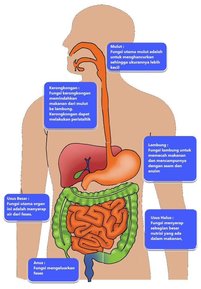 Satu ciri makhluk hidup adalah memerlukan makanan Membuat Diagram SIstem Pencernaan Manusia