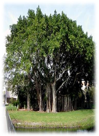 Pohon Beringin memiliki nama ilmiah Ficus benjamina