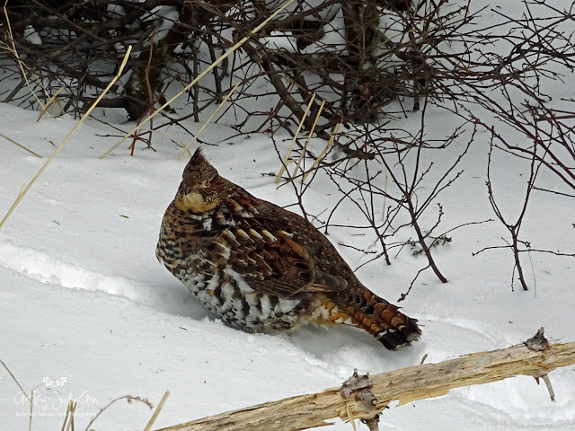 Ruffed Grouse 7