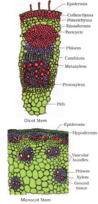Dicot Stem Monocot Stem difference