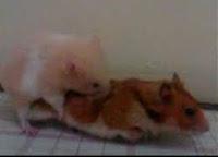 Bagaimana Cara Agar Hamster Cepat Hamil atau Beranak?