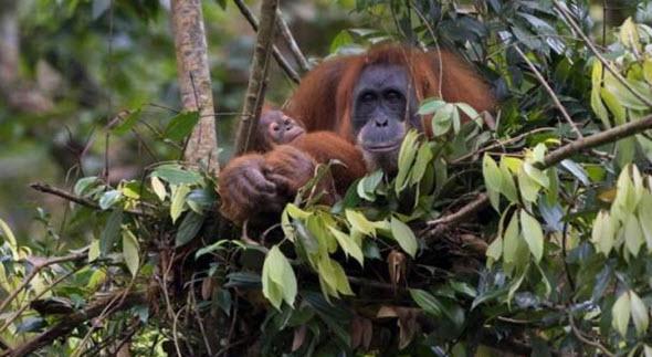 Sarang Orang Utan Sumatera