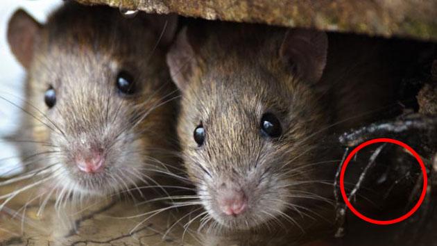 Cara Ampuh Mengusir Tikus di Dalam Rumah
