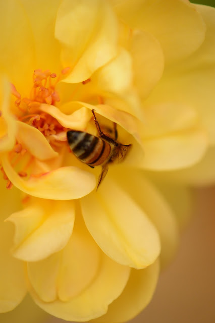 small sunny garden, bee, rose, graham thomas rose, amy myers photography, desert garden